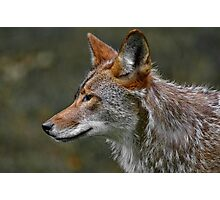 Coyote Profile Photographic Print