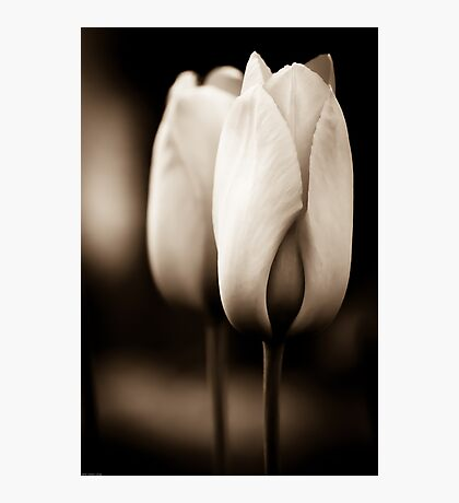 Tulips in Sepia Photographic Print