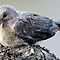 Babavoëltjies / Baby birds in Africa