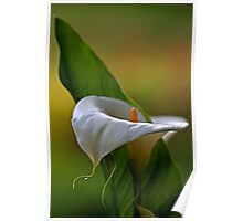 """""""Arum Lily..."""" Poster"""