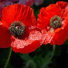 two poppies by Alex Mokrzycki