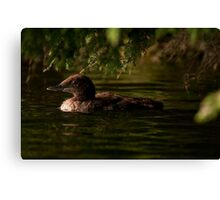 Common Loon Baby Canvas Print