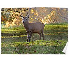 Young Stag - Red Deer Poster