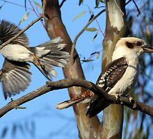 Kookaburra by Tizimagen