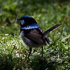 """""""Blue Wren Watching"""" by Sophie Lapsley"""