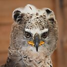 African Crowned Eagle by John Dalkin