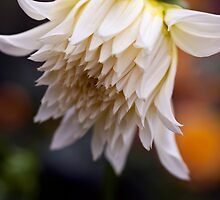 Large White Dahlia Opening by Ray Clarke