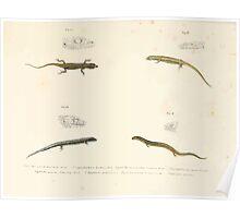 Leopold Joseph Fitzinger 1867 0089 Picture Atlas for popular scientific natural history of vertebrates Poster