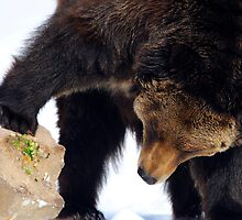 Bear looking under a rock by WillOakley