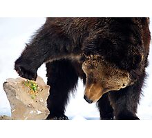 Bear looking under a rock Photographic Print