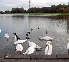 Swans and Moorhens by GEORGE SANDERSON