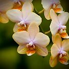 "Phalaenopsis ""Leyte Gold"" by Michael Cummings"
