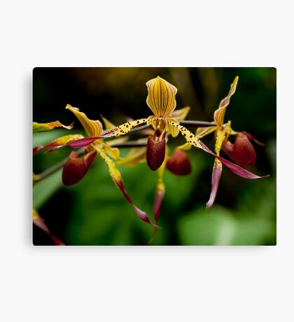 "Pahpiopedilum ""Julius"" Canvas Print"