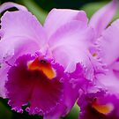 "Laeliocattleya ""Recital"" by Michael Cummings"