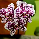 "Phalaenopsis ""Everspring Fairly"" by Michael Cummings"