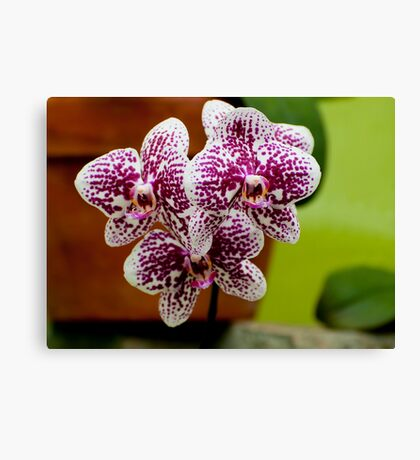 "Phalaenopsis ""Everspring Fairly"" Canvas Print"