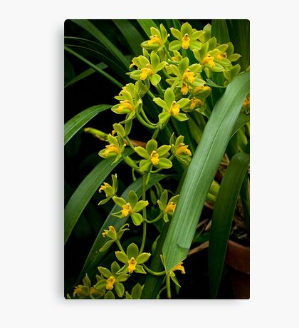 "Cymbidium ""Fifi Harry"" Canvas Print"