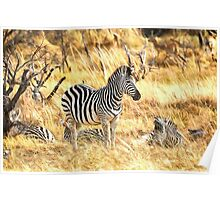 Zebras at Peace Poster