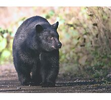 Young Adult Black Bear Photographic Print