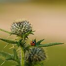 Ladybug on Thistle by Irina777