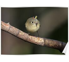 Ruby Kinglet In The Open Poster