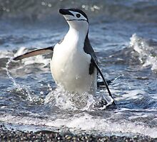 Antarctica chinstrap penguin back from fishing by Marion Joncheres