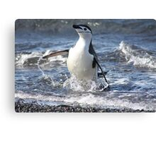Antarctica chinstrap penguin back from fishing Canvas Print