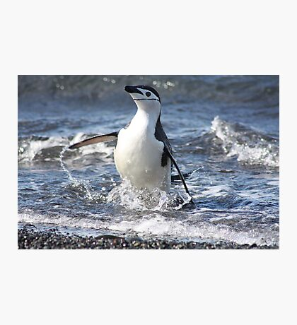 Antarctica chinstrap penguin back from fishing Photographic Print