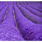 Lavender diptych by Rose Atkinson
