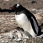 Antarctica gentoo penguin breeding chicks by Marion Joncheres
