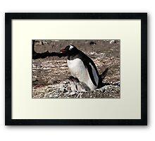 Antarctica gentoo penguin breeding chicks Framed Print