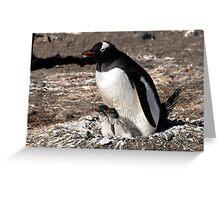 Antarctica gentoo penguin breeding chicks Greeting Card