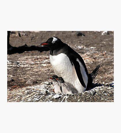 Antarctica gentoo penguin breeding chicks Photographic Print