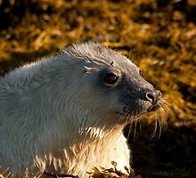 Grey Seal pup by Jon Lees