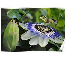 Passiflora Poster