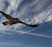 Buzzard in flight by Mark Bird