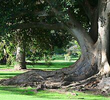 Ancient Gum Tree - Adelaide Botanic Gardens by Joanne Emery