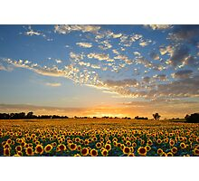 Kansas Sunflowers at Sunset Photographic Print