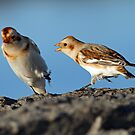 Battle of the Snow Buntings by Bill McMullen