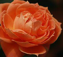 Orange Rose by Indrani Ghose