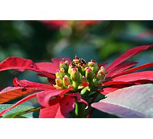 Poinsettia close up shot Photographic Print
