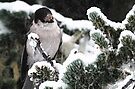 Winter Gray Jay by Tori Snow