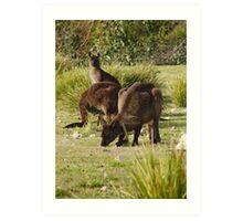 Grazing Kangaroos at Flinders Chase National Park, Kangaroo Island Art Print
