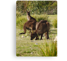 Grazing Kangaroos at Flinders Chase National Park, Kangaroo Island Canvas Print