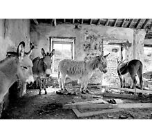Donkeys on Blasket Photographic Print