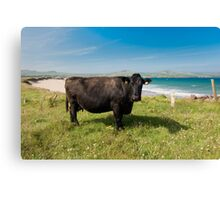 Kerry Cow Canvas Print