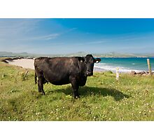 Kerry Cow Photographic Print