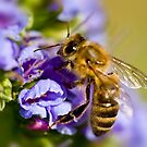 Collecting the nectar. by trevorb