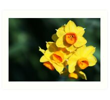 Daffodil close up Art Print