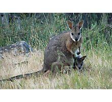 Tammar Wallaby & Joey at Baudin Conservation Park - Kangaroo Island, South Australia Photographic Print